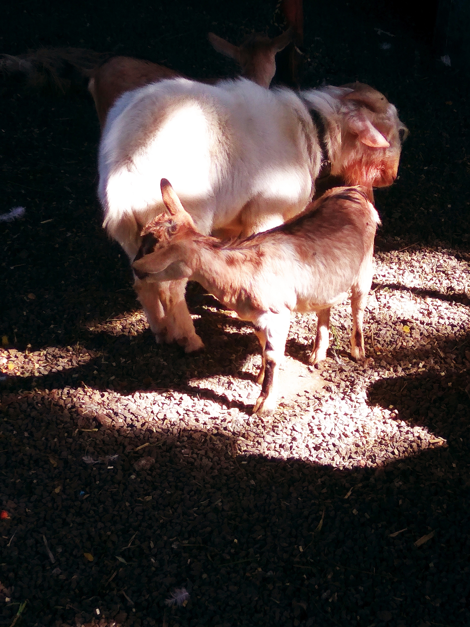 sunlight and shadow comes together to show the intimate love between the mother and the lamb