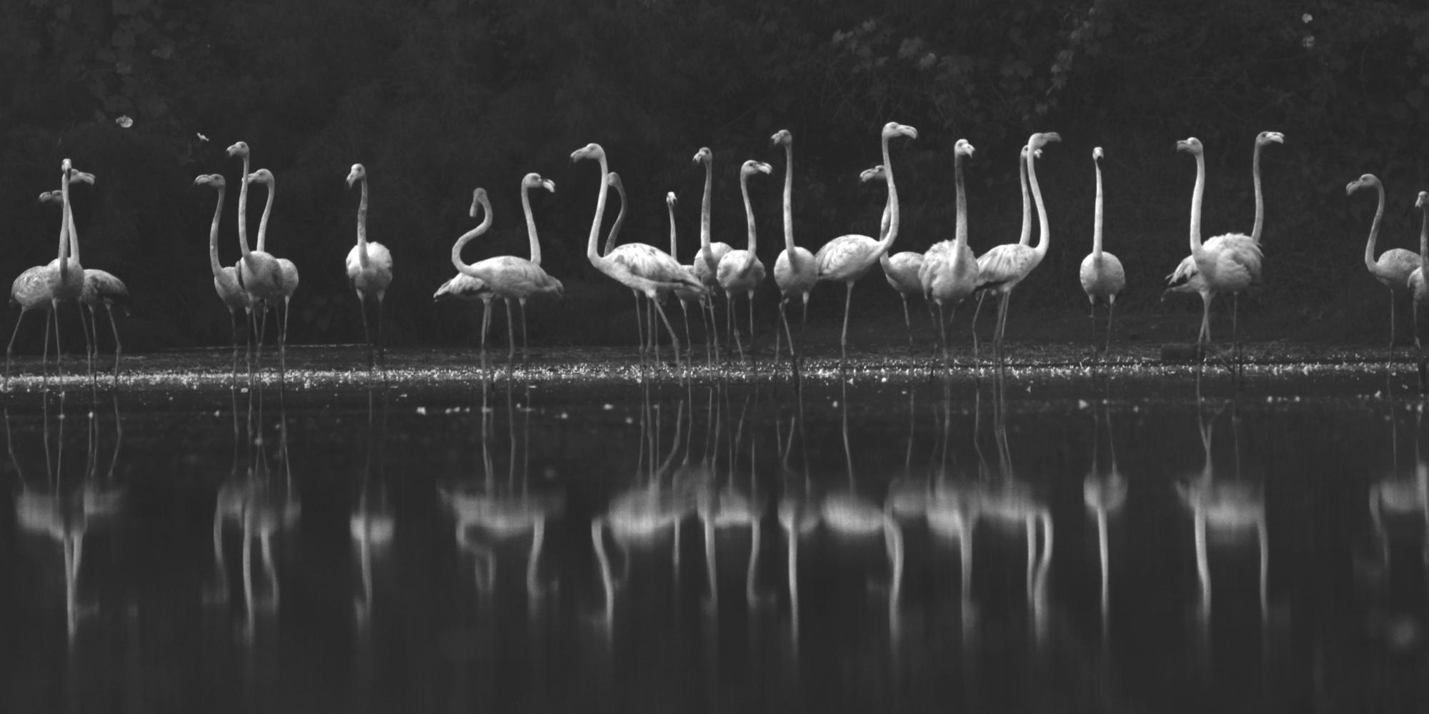 Greater flamingoes click in mumbai.