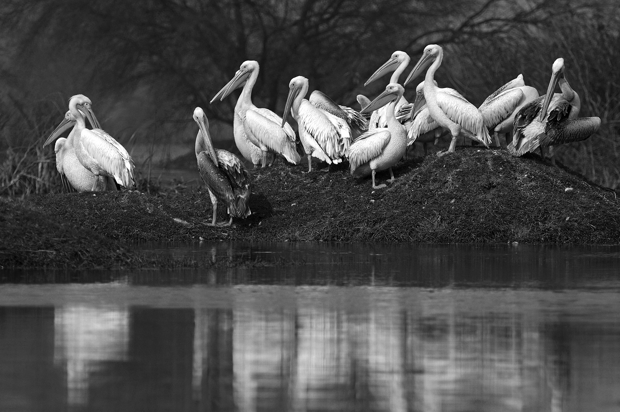 Too many peas in a pod! A group of Pelicans (pod) at the Bharatpur Wildlife Sanctuary in Rajasthan.