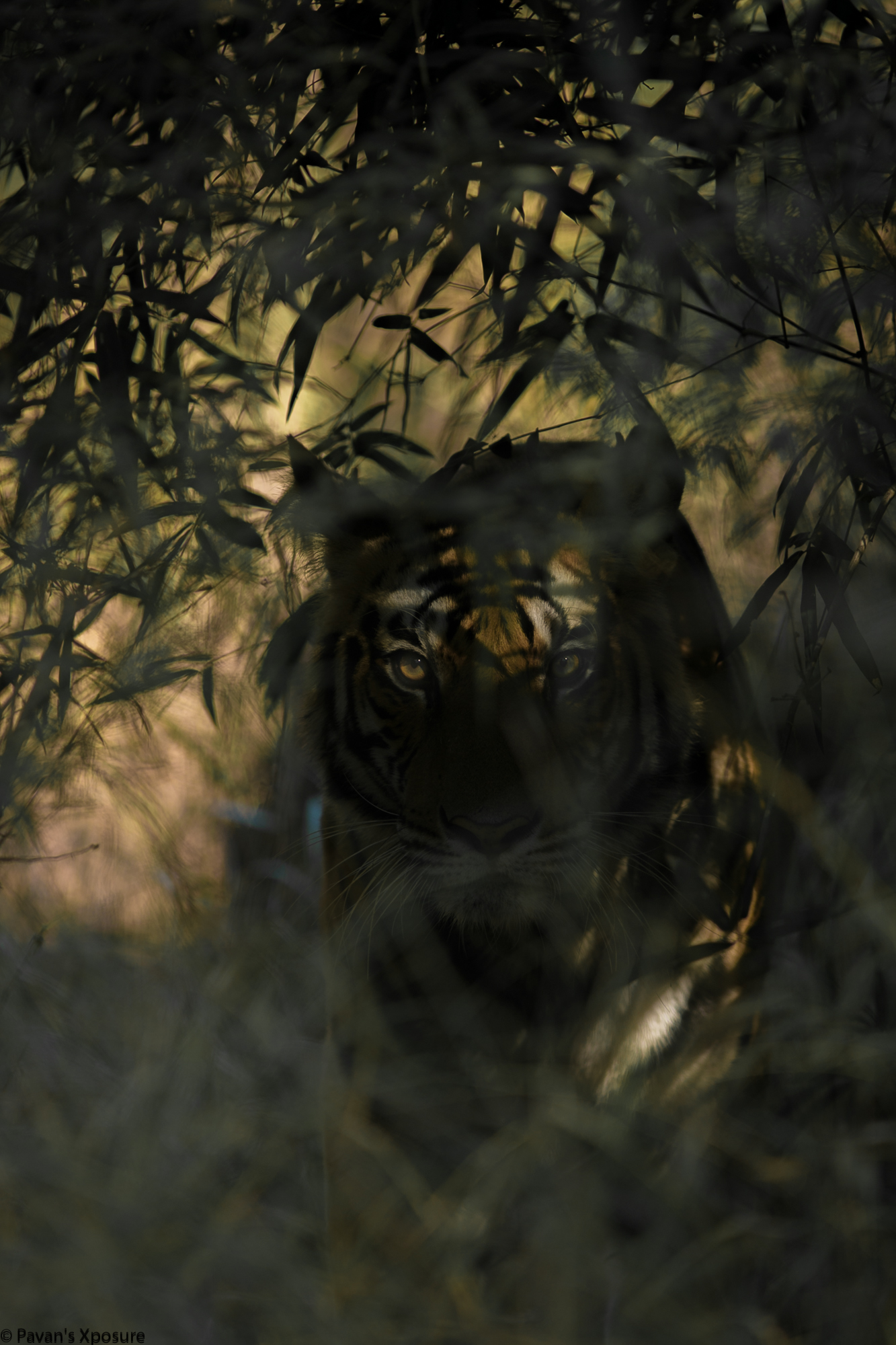 When into the woods one should be very attentive to surroundings. This picture depicts one such moment where the winds have whispered us about the presence of a deadly predator and at a deep surveillance we were lucky to find pinching eyes of this devil.