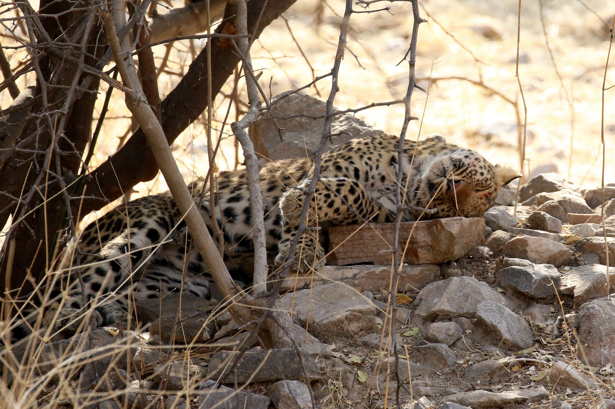 Leopard in deep sleep in the afternoon at Jhalana jungle, Jaipur