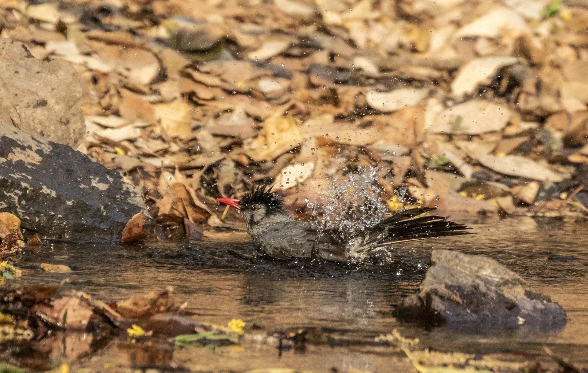 Bird bathing in pond at Sattal, Nainital.