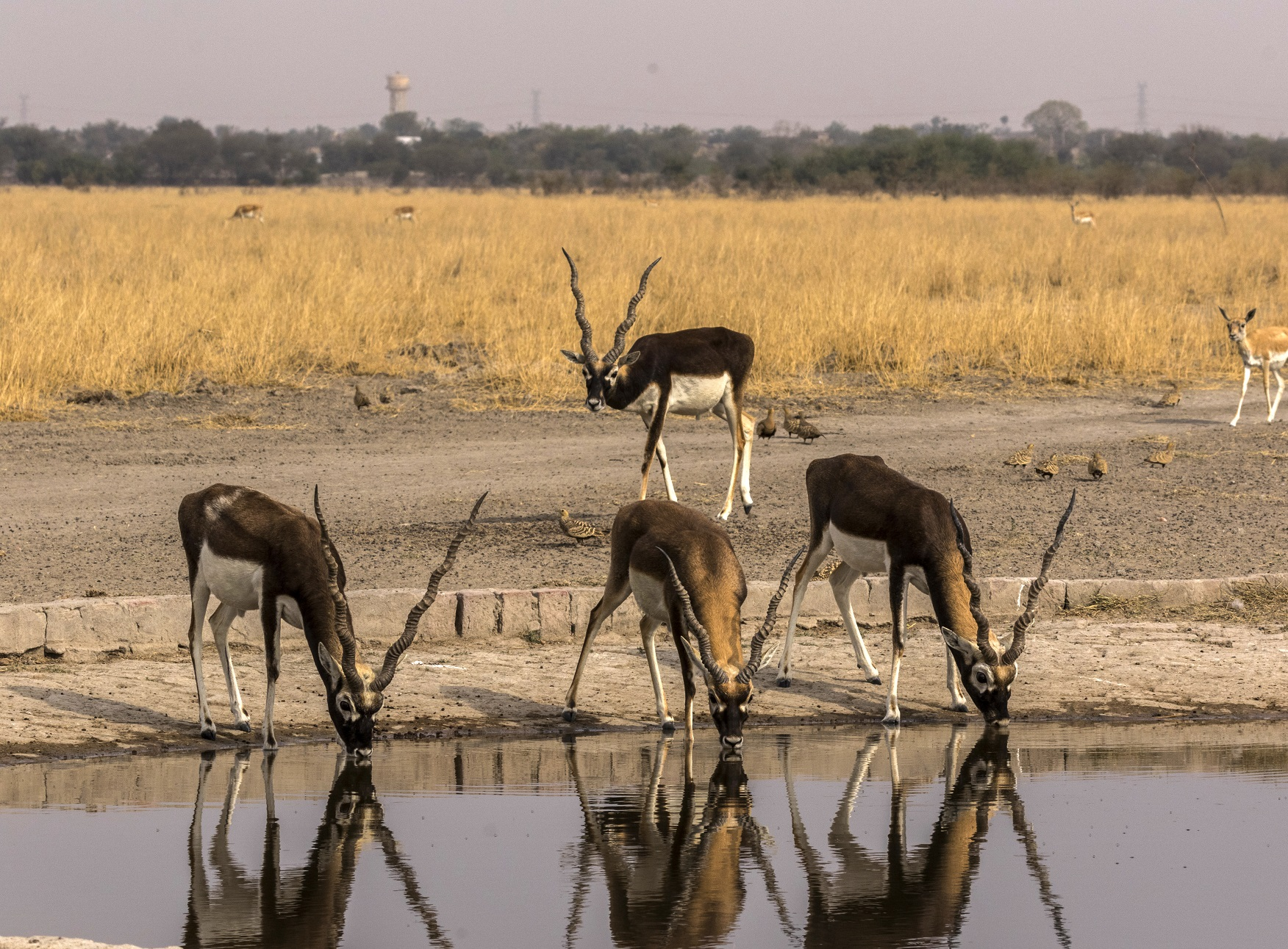 Black buck quenching the thirst at Tal Chhapar