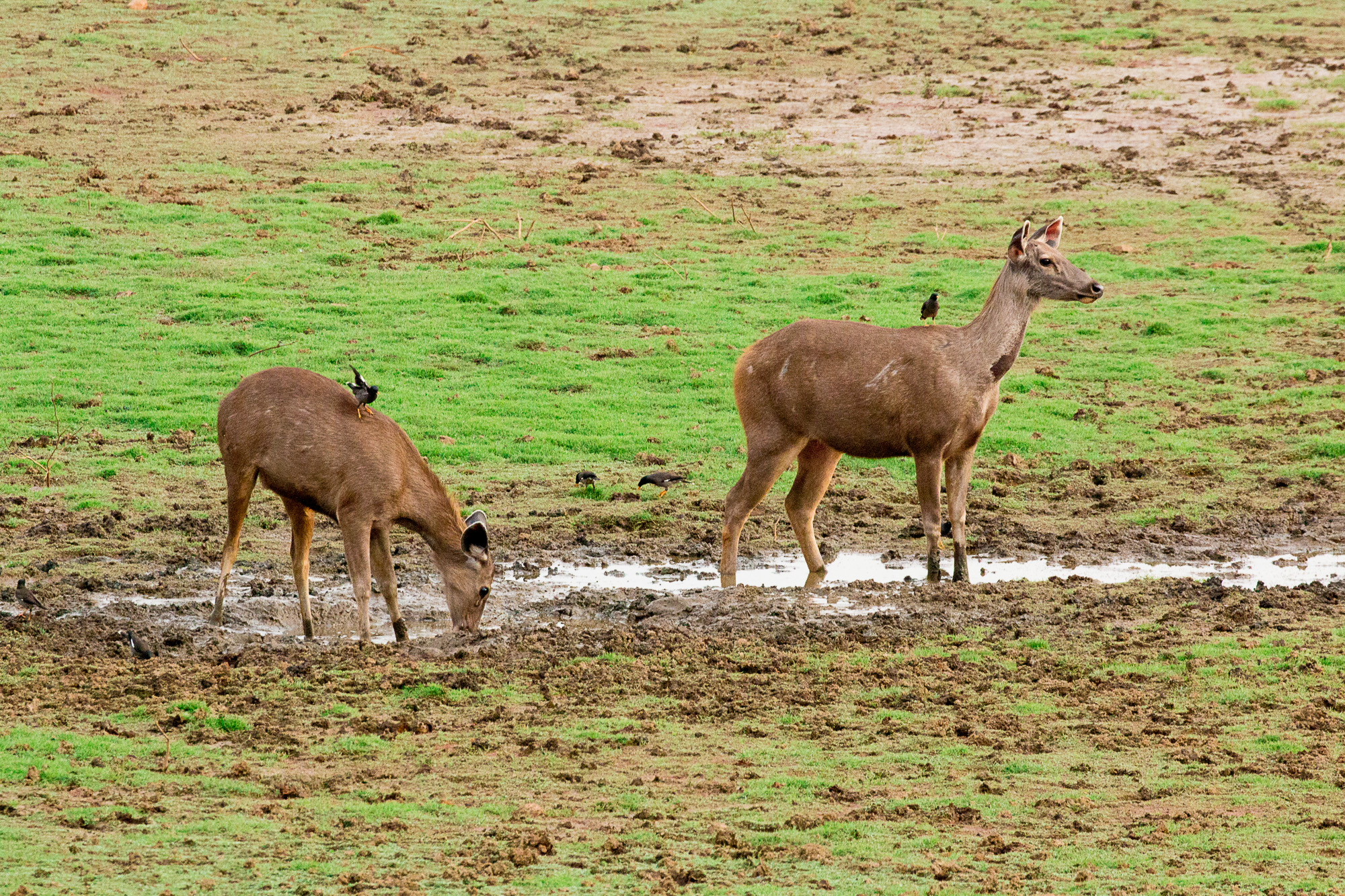 Sambar deers drinking the water during the jeep safari through the nagarhole national park, Summer is at its peek, forest is dry ,less greenery so most of the wild around the reservoir