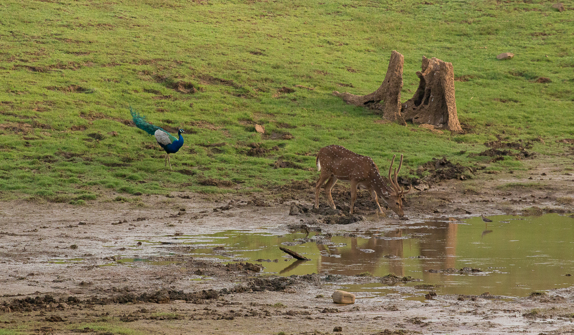 Spotted deer drinking the water while peacok is waiting for the turn, From nagarhole