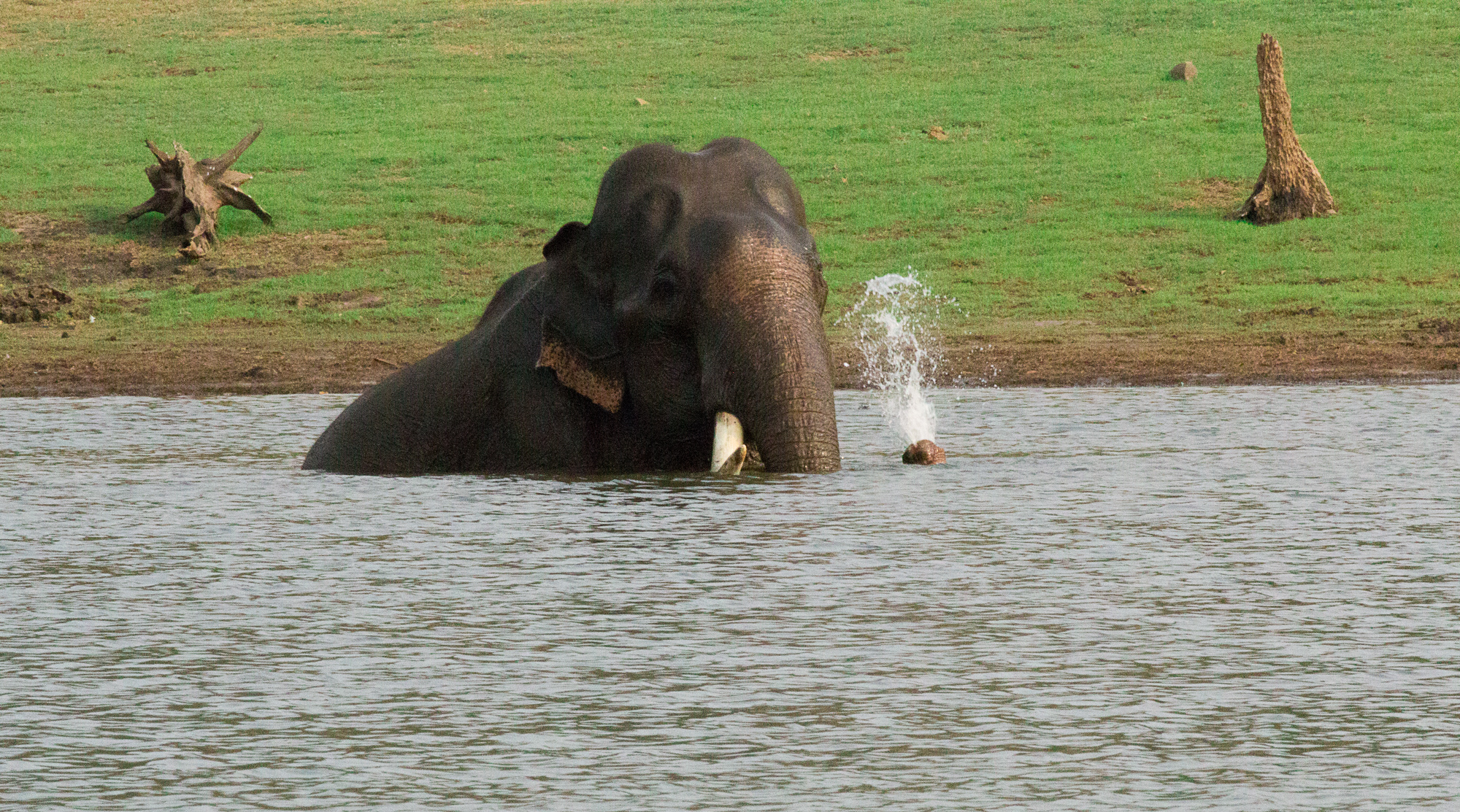 Single tusked elephant bathing at kabini reservoir , enjoying every moment of the cool bathing, some times go deep so that he is not visible and then coming up with a water spray, safari boat moved close and watched for 15minutes and still he continued.