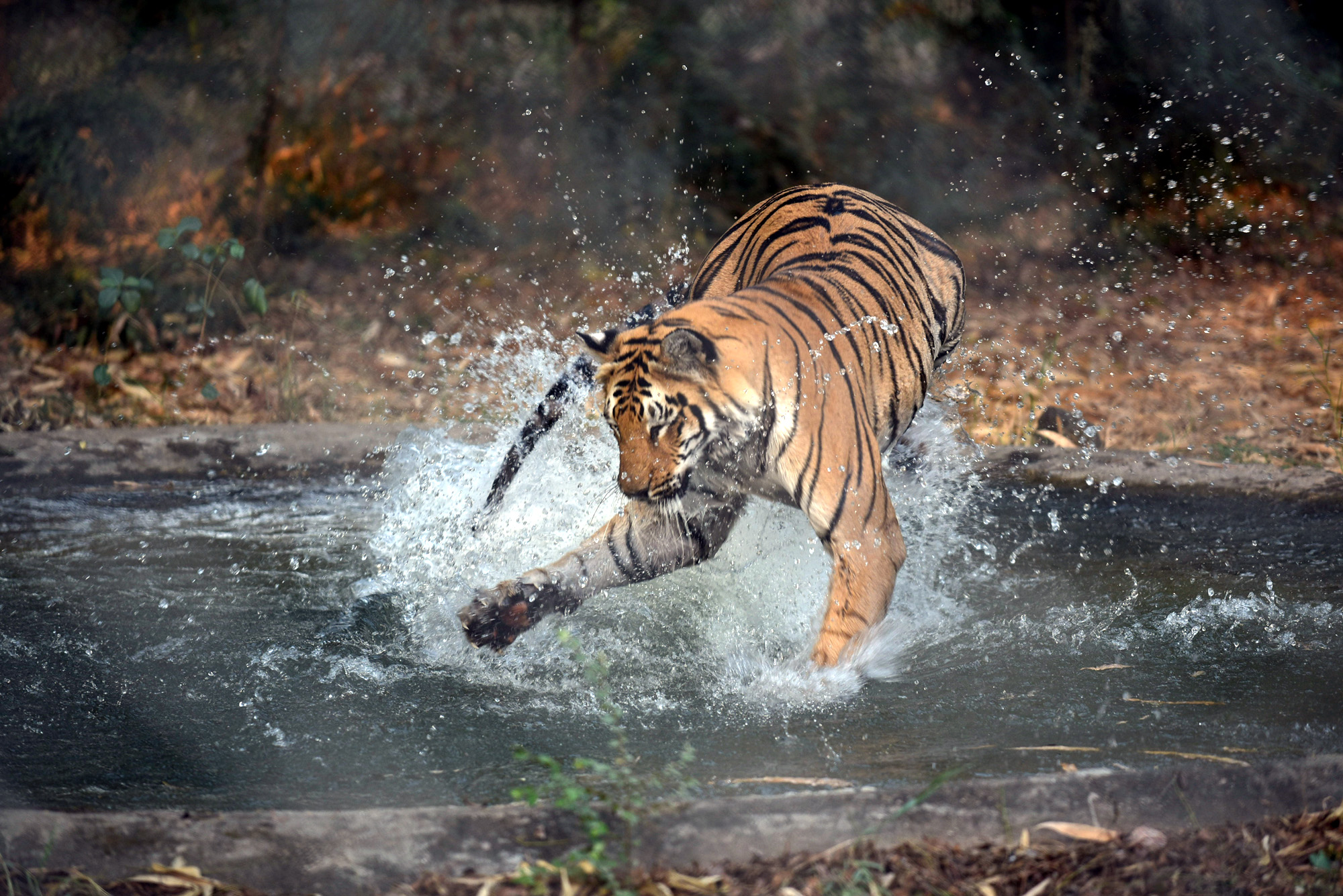 A male tiger in Maharajbagh zoo in the city plays in a pond to beat a heat. As the temperature in the city has began soaring the zoo authorities are making all possible efforts to keep the enclosures of animals cold and comfortable.
