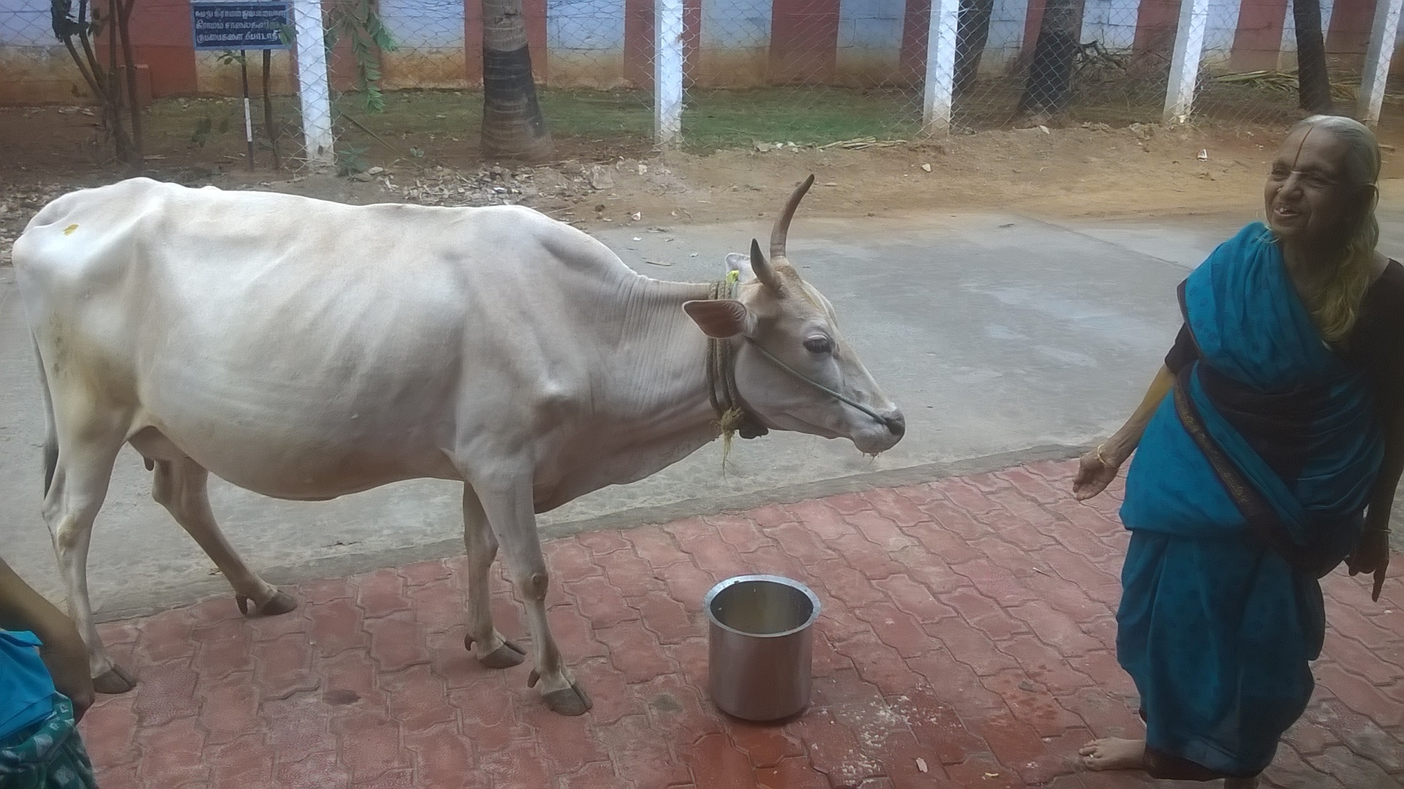 My mom loves to feed not only her family, relatives and guest but also her favourite cow Lakshmi.