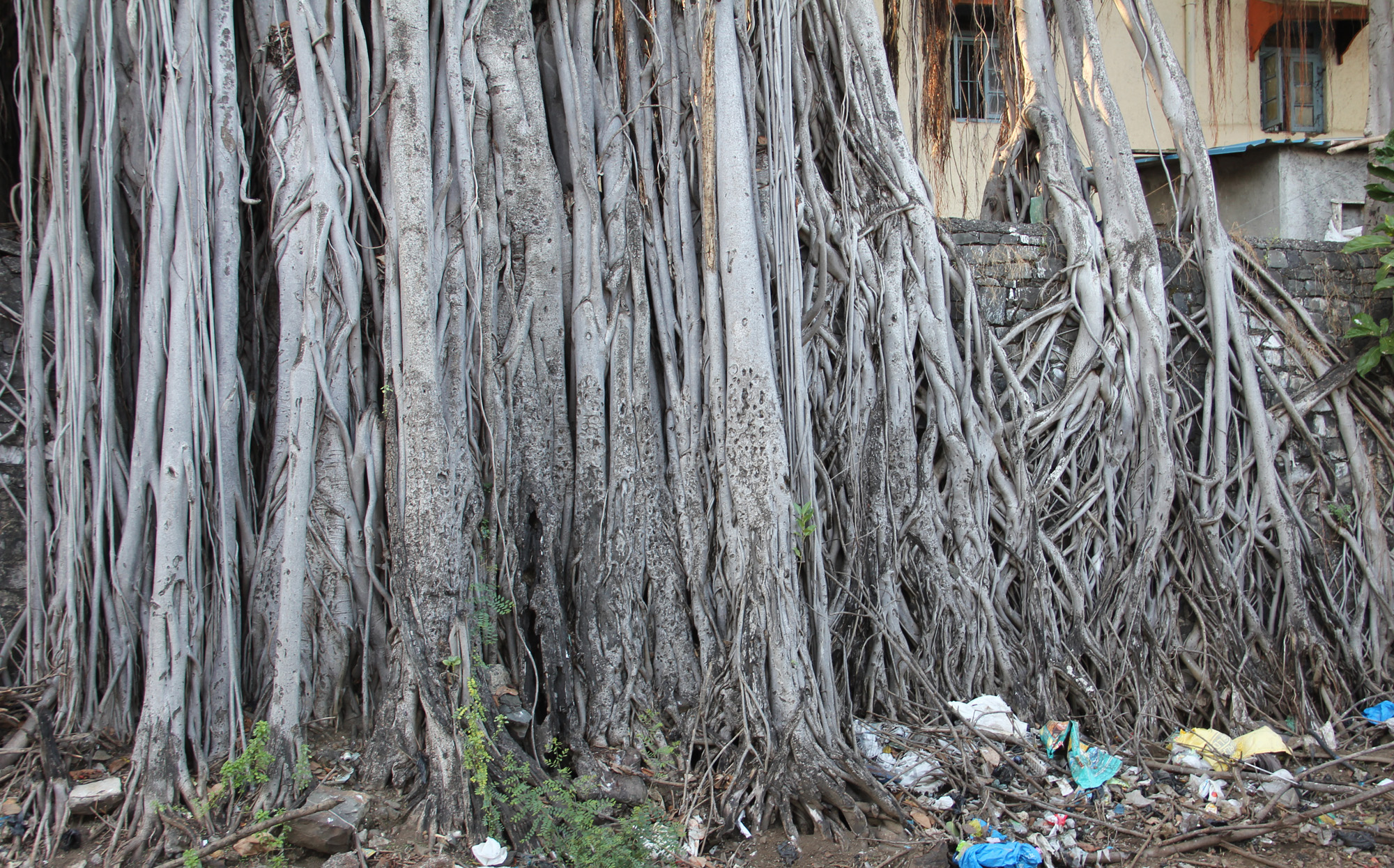 Magnificient roots of a peepal tree  near the rail tracks in Mumbai.