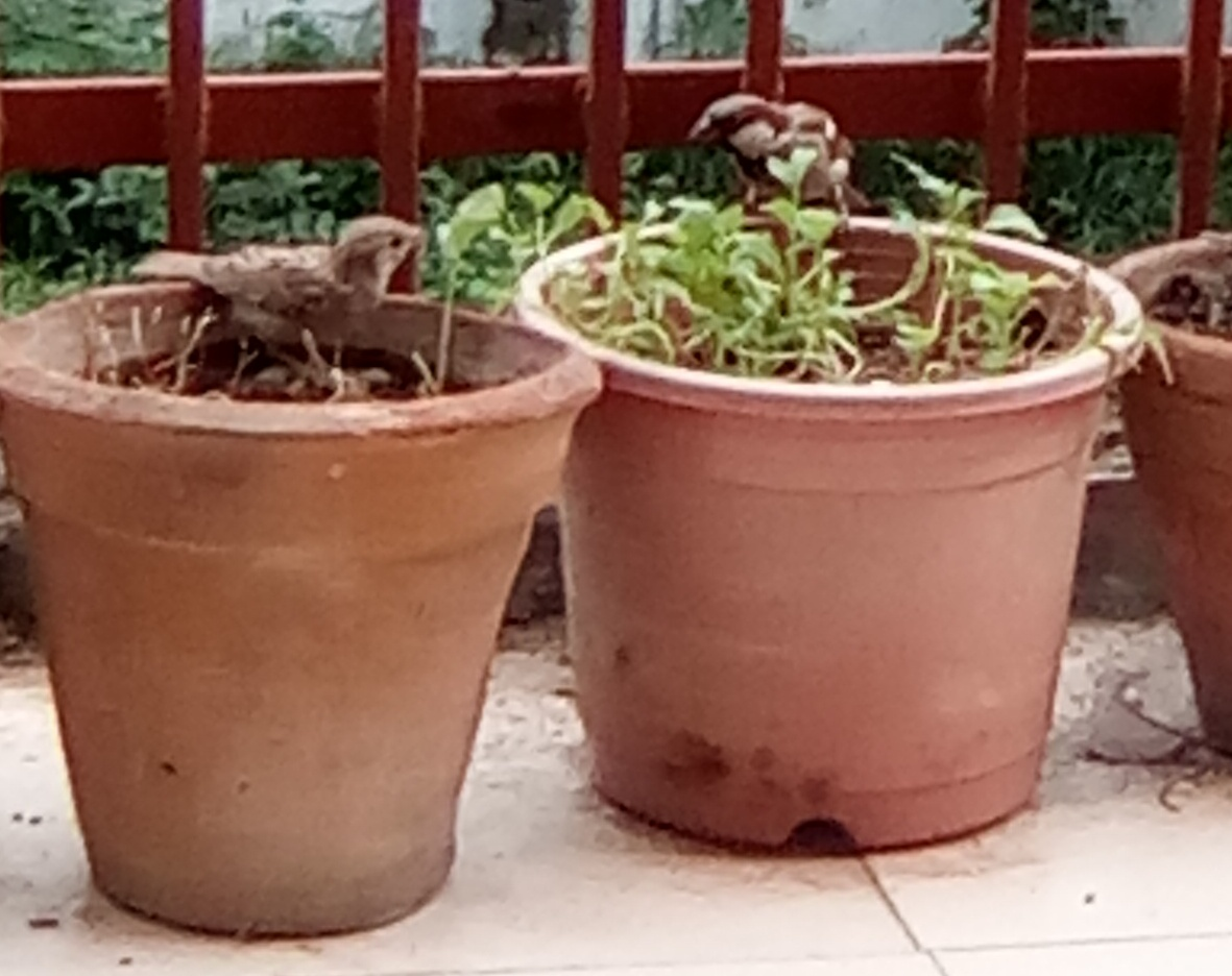 The House Sparrows 'State Bird of Delhi' which had vanished from the Capital and shifted to the outskirts of Delhi were spotted in my balcony feeding on the succulent saplings.