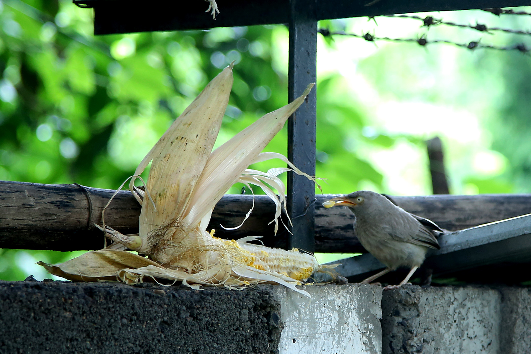 corn eating birds