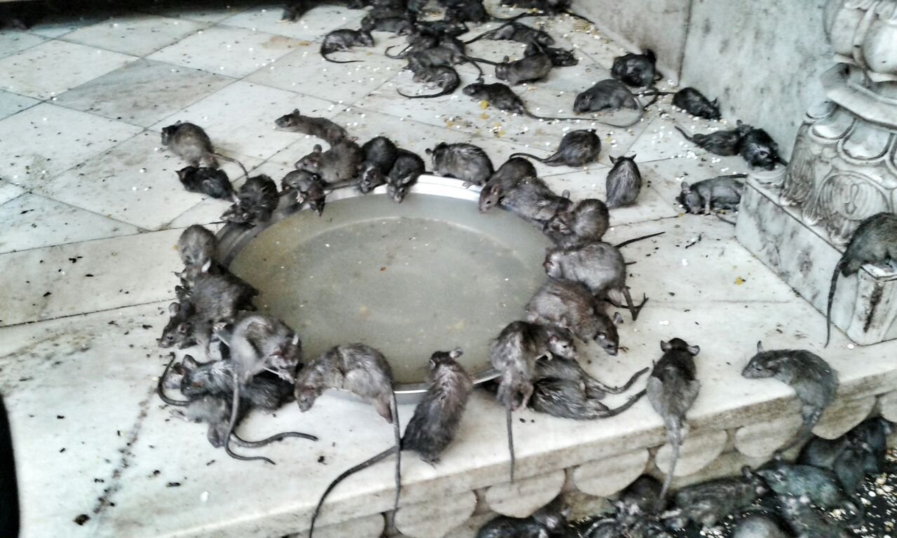 Indian rats that are worshipped as they are thought to be holy.