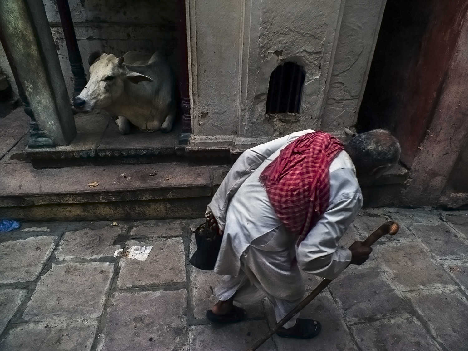 an old man walks alone with a limp and his stick while a cow in the backdrop sits inside a small temple