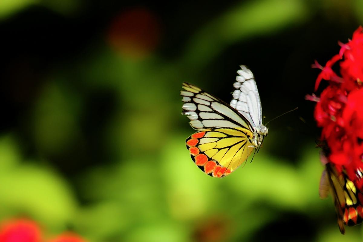 A butterfly in flight