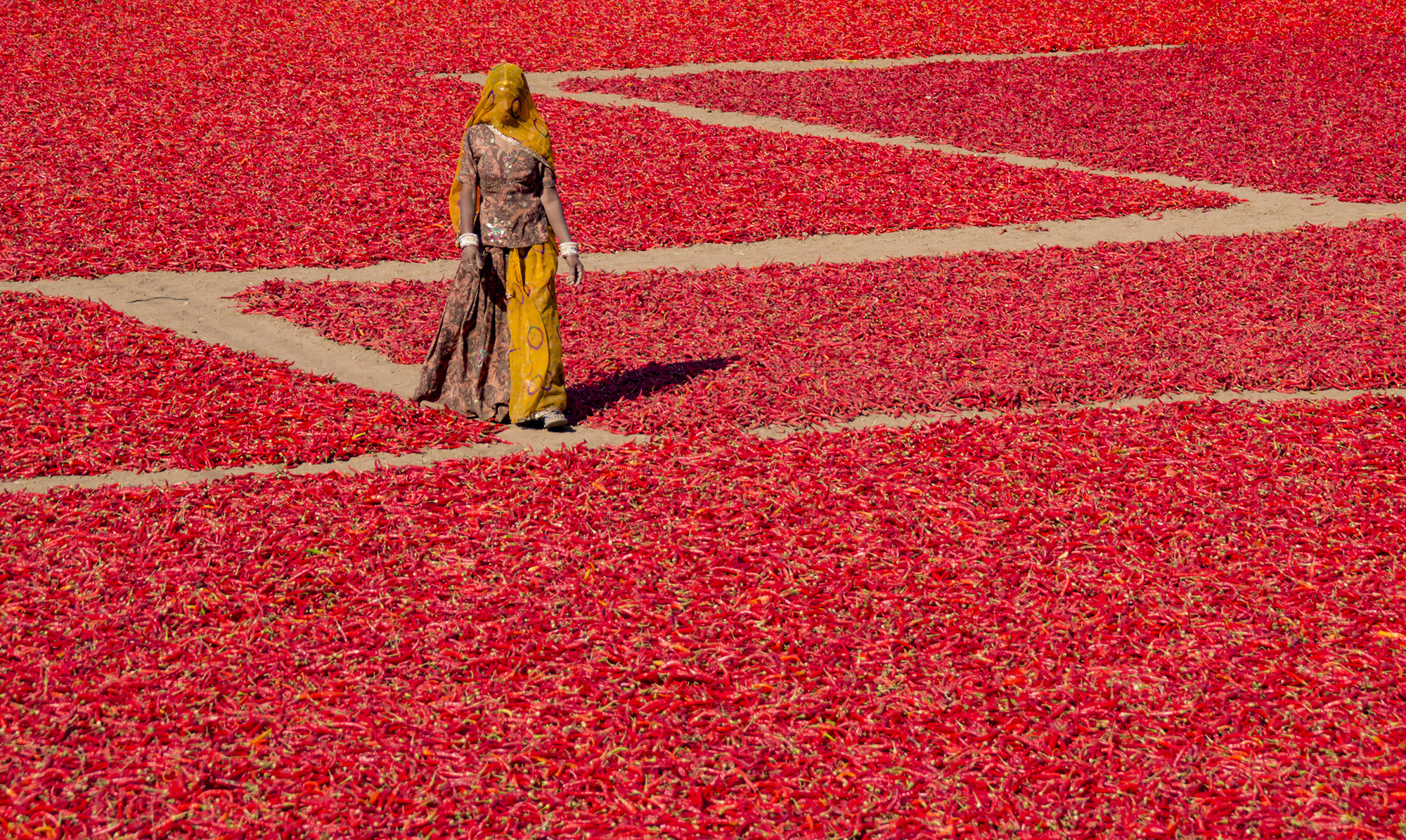 Shot this during the  winters. This lady farmer were crossing the lanes of drying chilies
