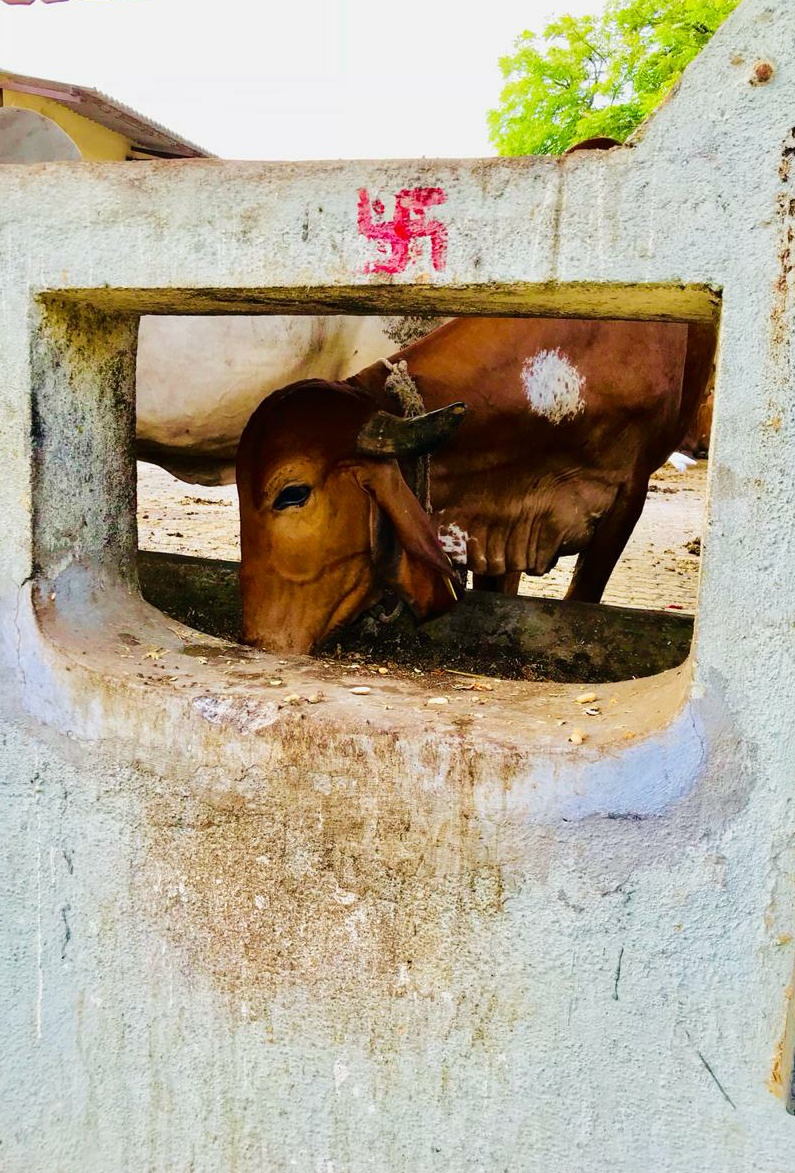 This is our Indian culture to consider our cow as our goddess. To use swastika for cow, to respect her and consider her as goddess with all rituals. That red swastika consider as tint of red in Indian culture. This is how red is consider as pure and religious colour for India.