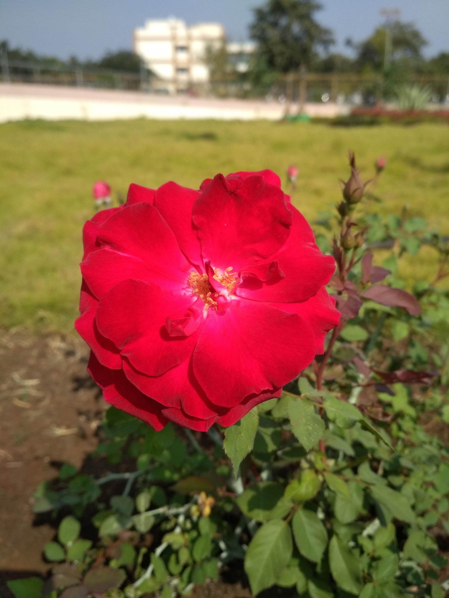 Beauty of RED ROSE is described in this picture.