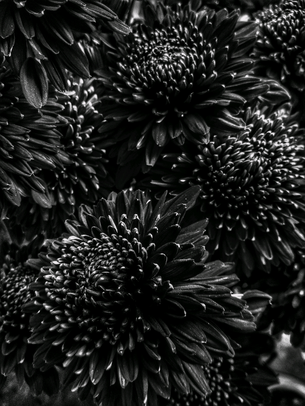 The petals of the chrysanthemums always show the best of patterns in nature.
