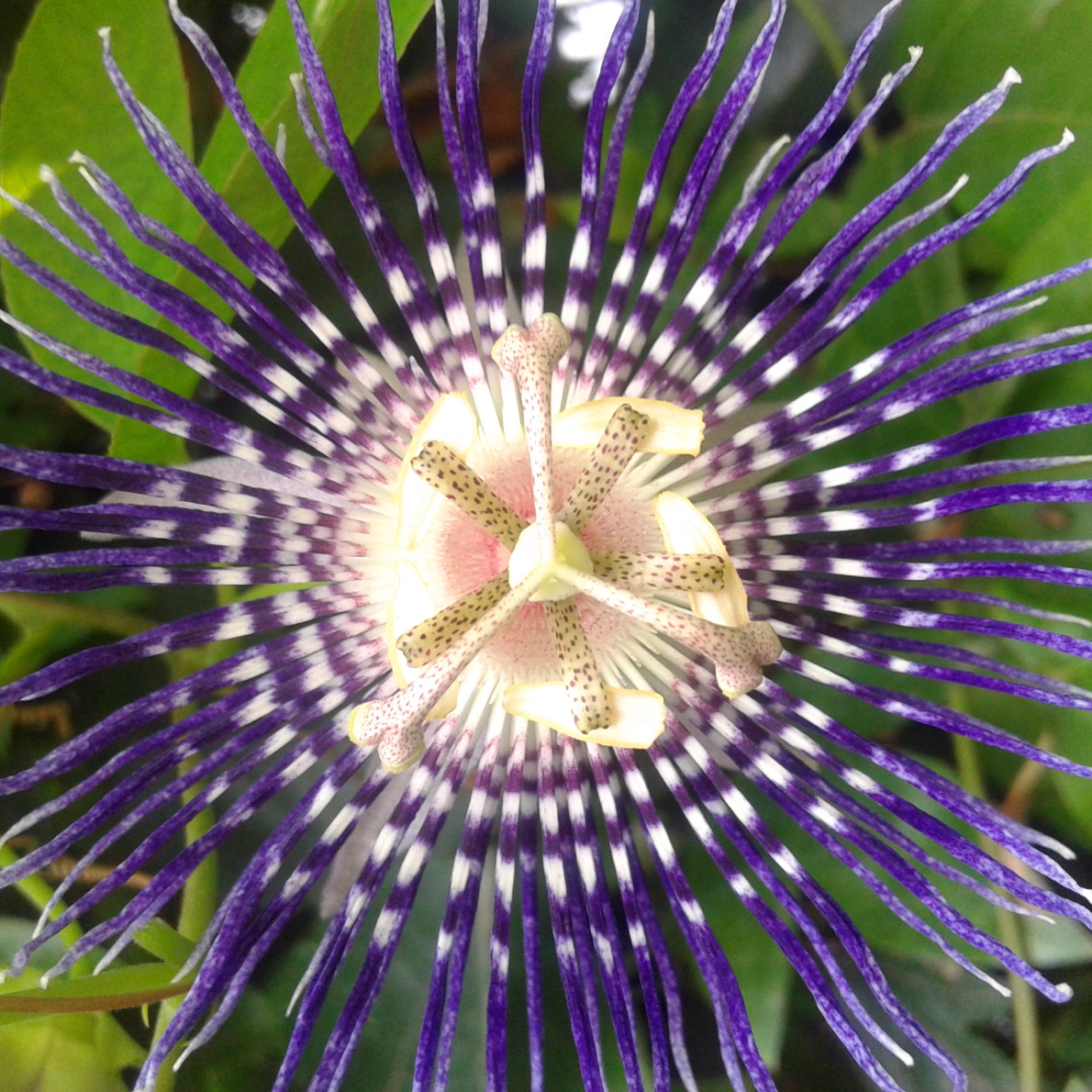 Purple passion photo by ruchi singh rao cellphone nature this beautiful flower is called the purple passion flower and belongs to the passion flower family izmirmasajfo