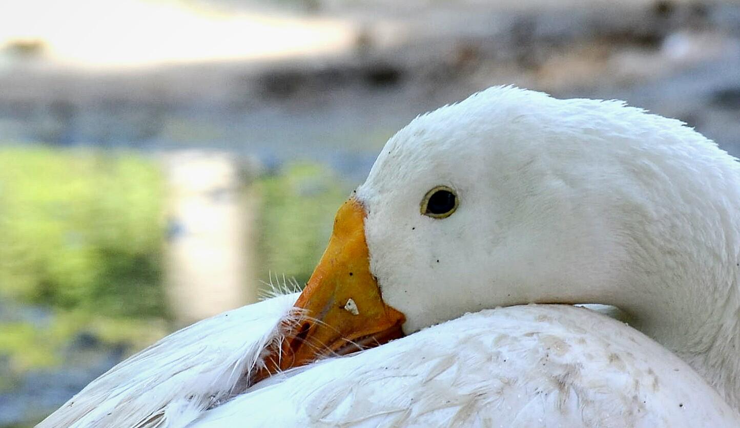 Duck are sleeping at Garden in New Delhi