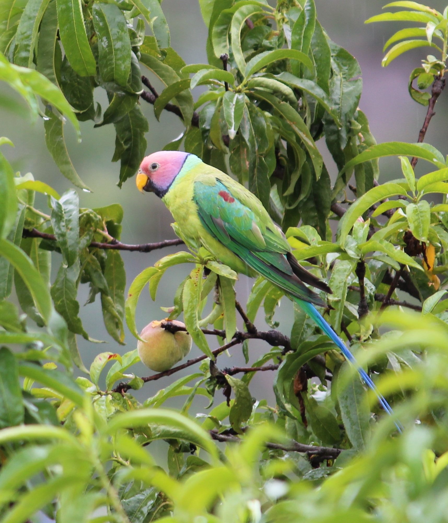 The Plum Headed Parrot beautifully camouflaged with the leaves of the Peach tree and was dedicatedly eyeing on the ripe peaches.