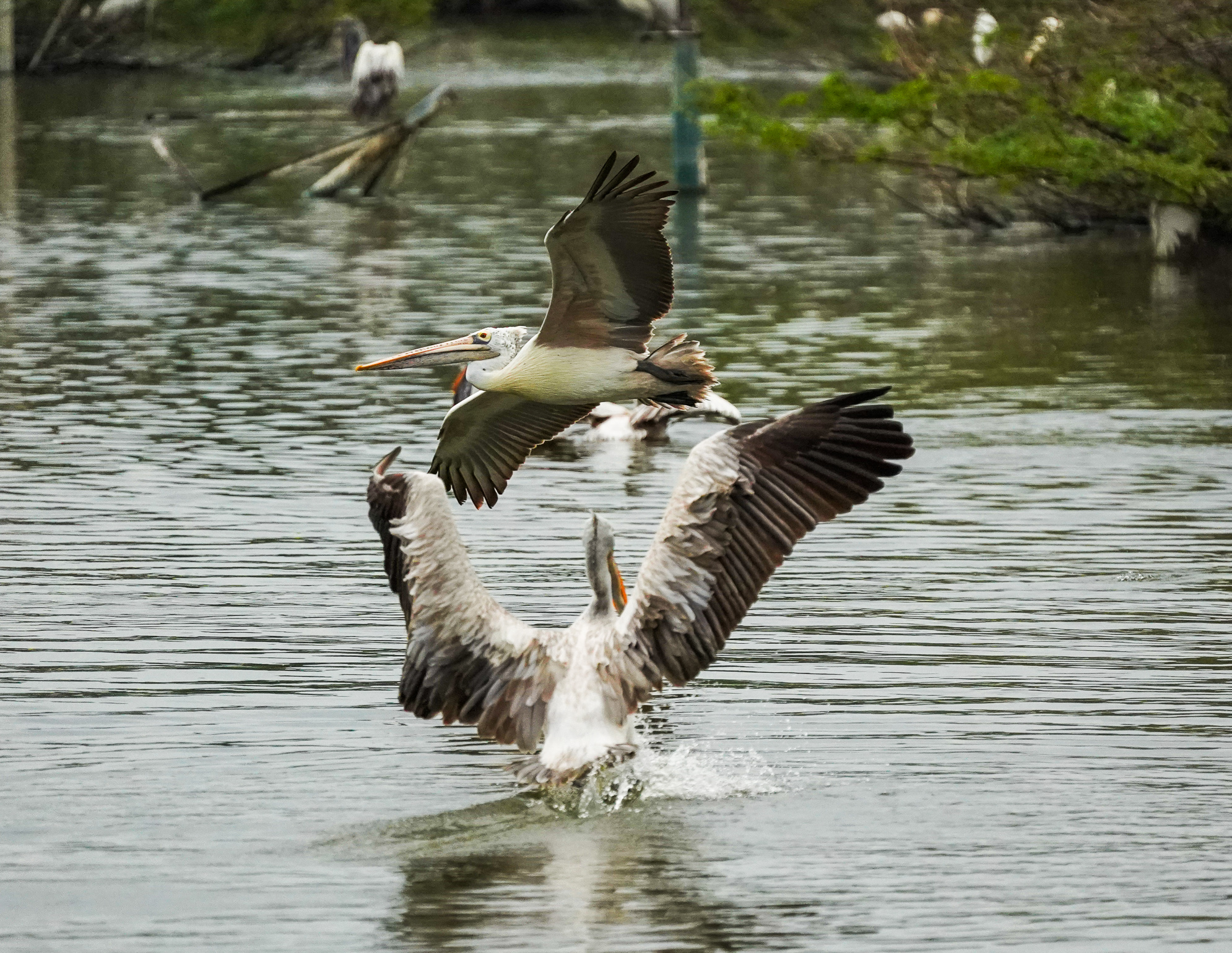 At the End of the day, Got a chance to freeze the motion between Two pelicans taking different flights and takeoffs at Uppalapadu Bird sanctuary, Andhra Pradesh.