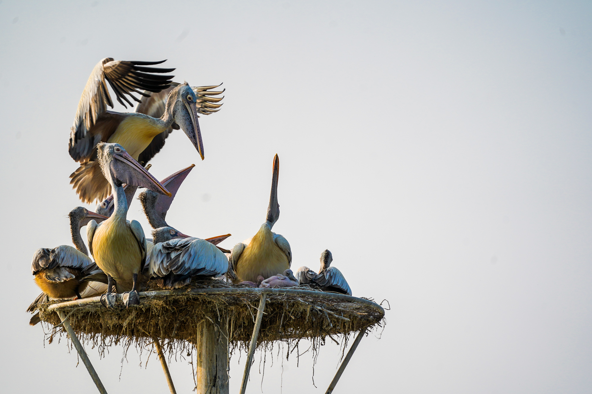 Pelican after roaming around the kolleru lake came to its nest which is her home . 
