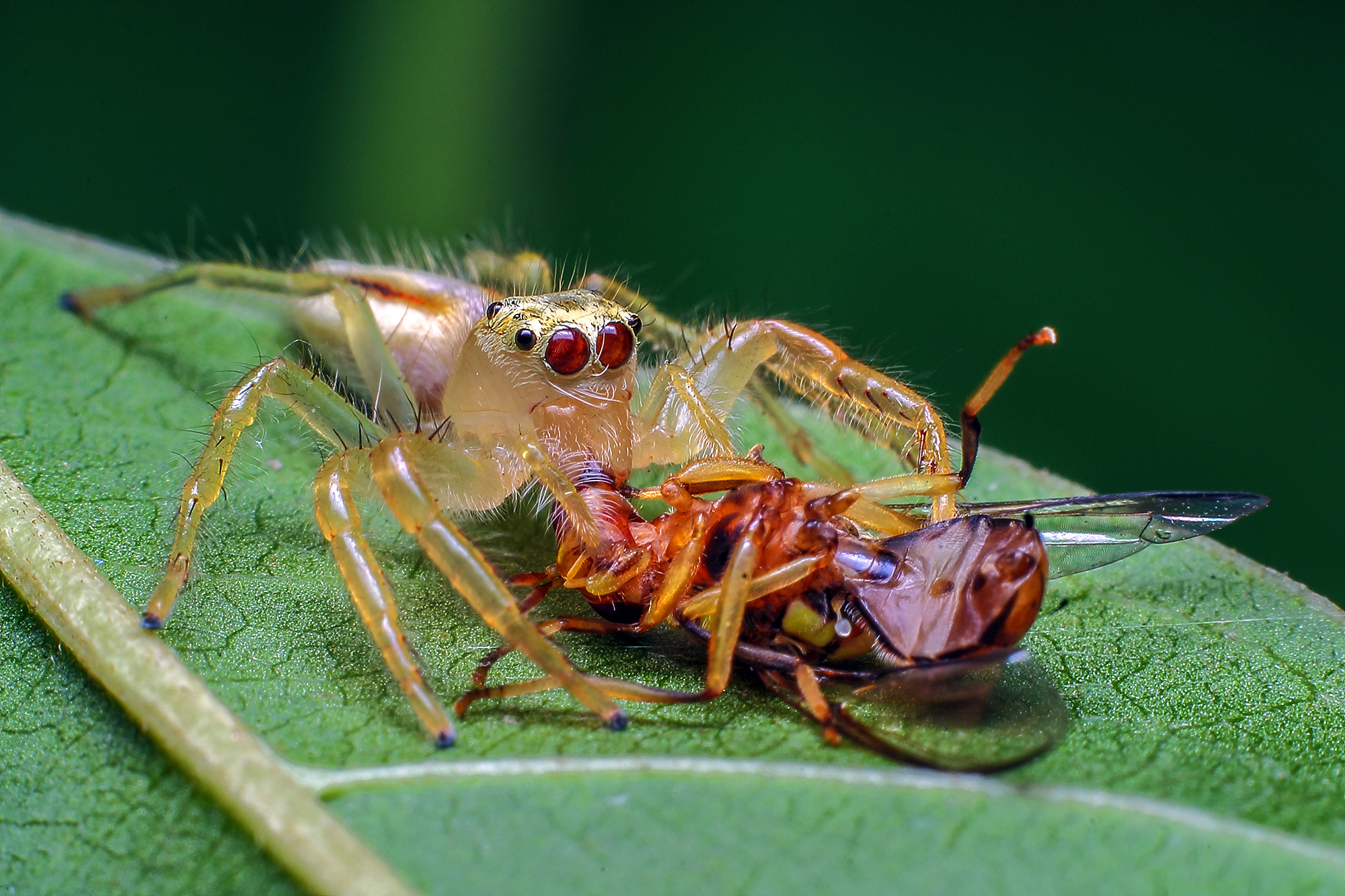 Two striped jumping spider - Telamonia species