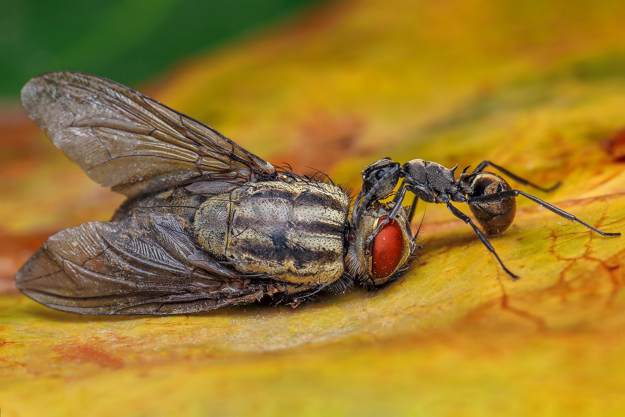 Golden back ant and Flesh Fly