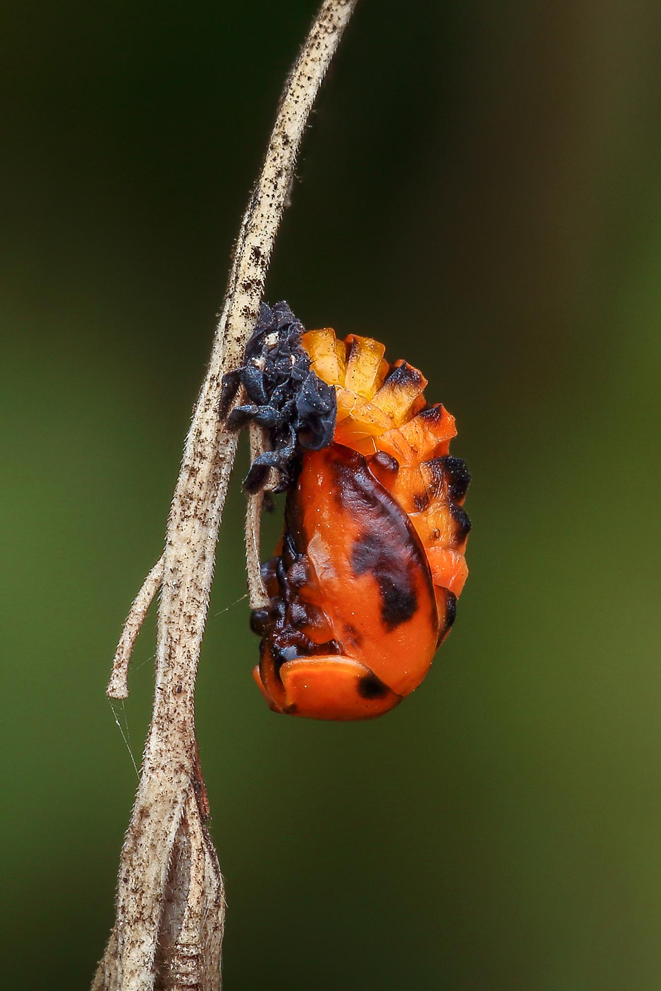 Ladybug (2nd stage)