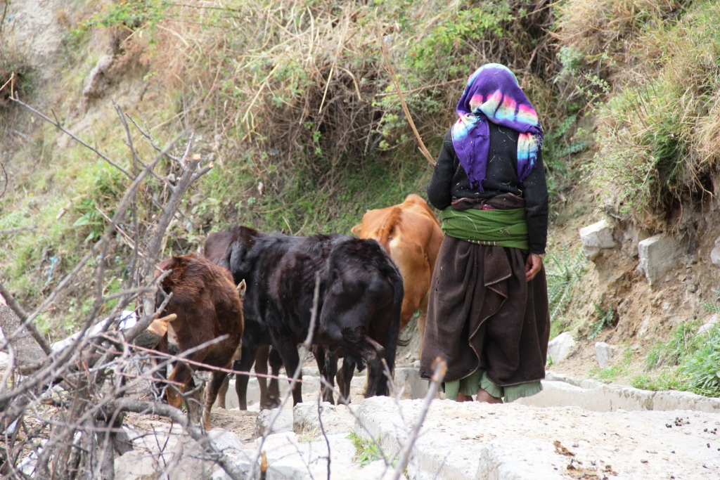 A women taking her cows for feeding them grass. Shot taken at Bhalgaon (Joshimath), Chamoli, Uttarakhand which is connected by a cable bridge,