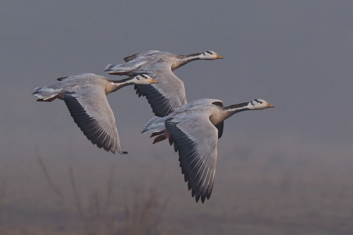 It was a misty,foggy morning at Keoladeo Ghana National Park,Bharatpur..a group of bar-headed geese was foraging near by..all on a sudden they took off together..