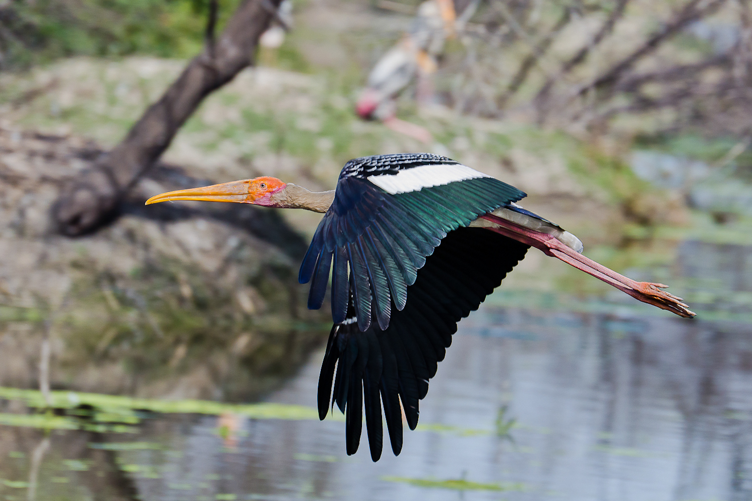 This's one of the  most common species seen at Keoladeo Ghana National Park,Bharatpur..Painted Storks are beautiful to look at because of their colors..Got this one as a full frame image!!