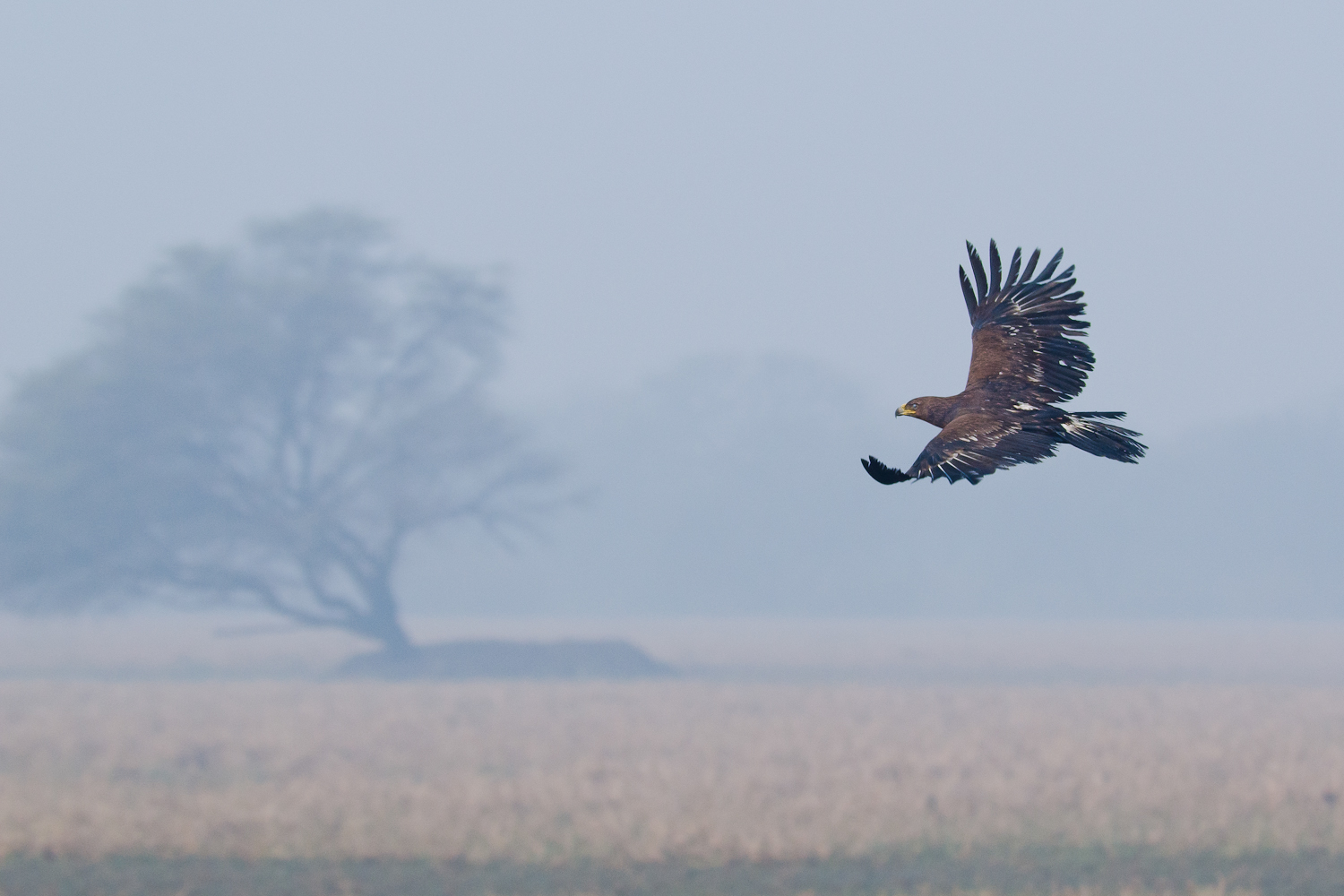 This greater spotted eagle was flying lonely & aimlessly over the grasslands in Bharatpur..the foggy ,misty morning as if contemplated the mood of the mighty raptor...