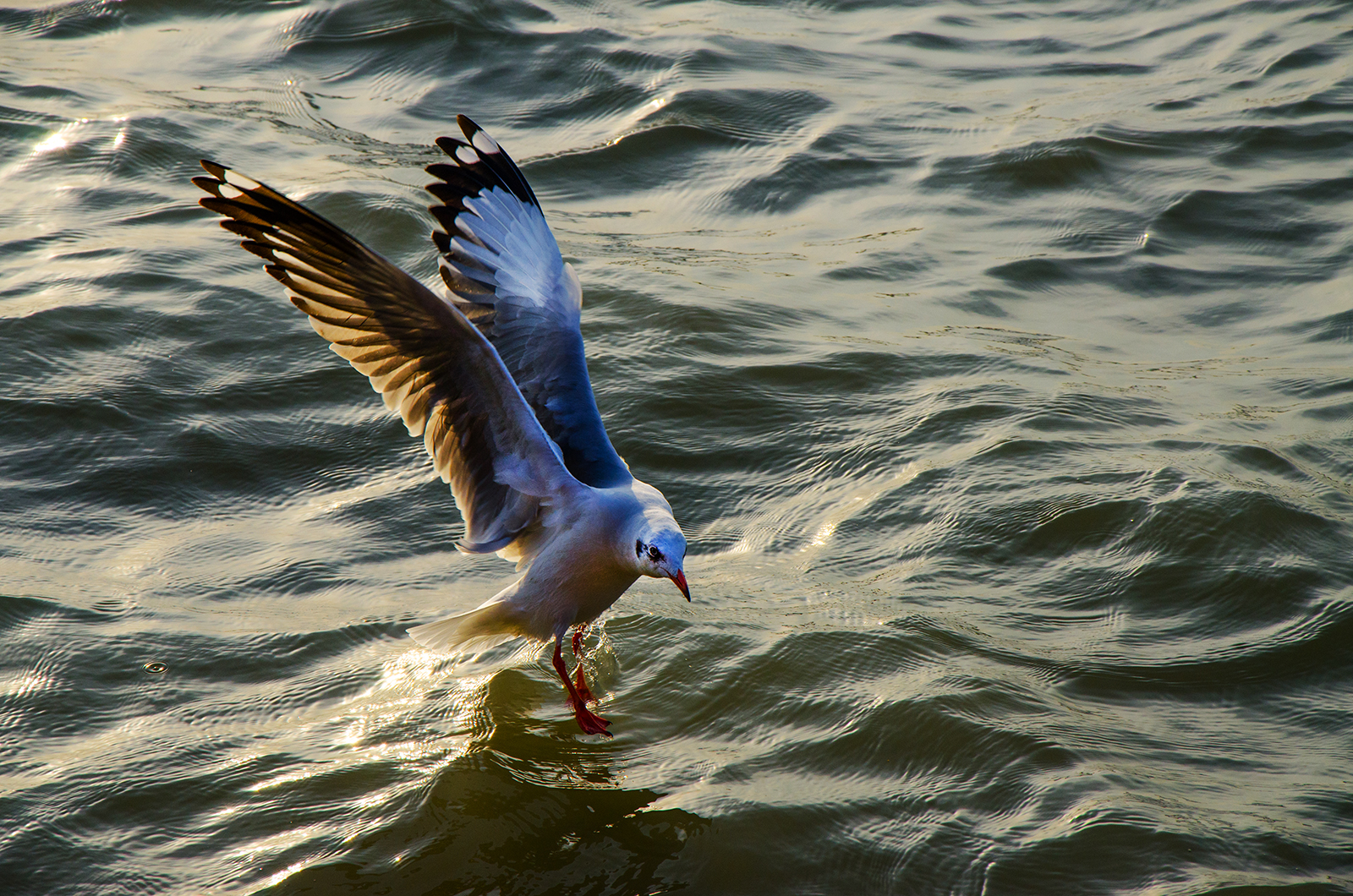 Brown headed Seagull near Gangasagar Camp
