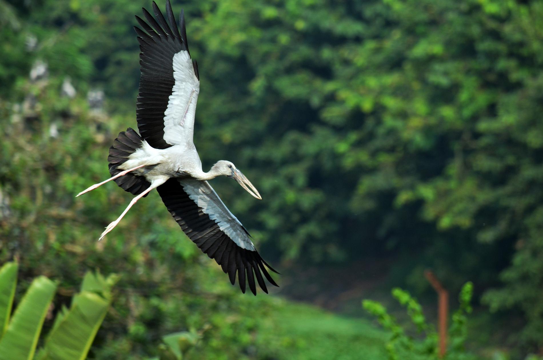 Asian openbill stork in flight at Kulik Bird Sanctuary, West Bengal