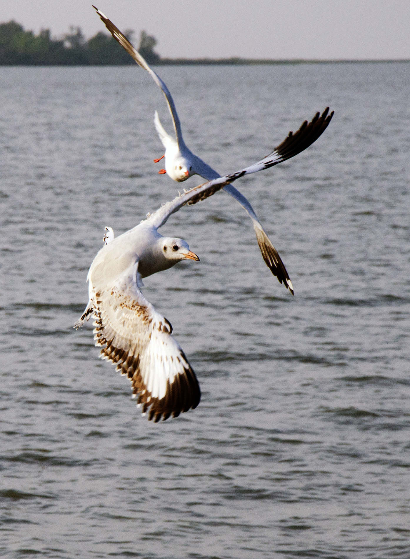Brown headed seagull are in flight and following different route.