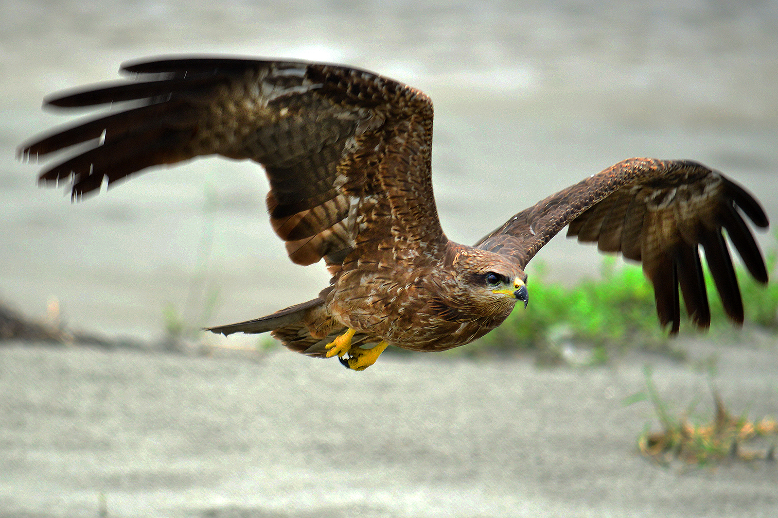 Black Kite at Coochbehar