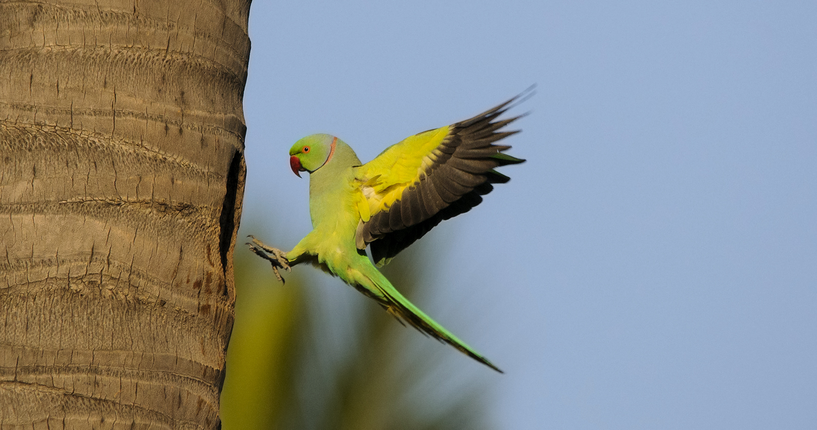 The Rose-Ringed Parakeet or Indian Ringneck is classified as a smaller parrot known as a parakeet. These birds have a hooked beak, a long tail, and are smaller in size compared to most parrots. These parrots are about 16 inches in length and they have a stealthy appearance that sets them apart from most exotic birds.