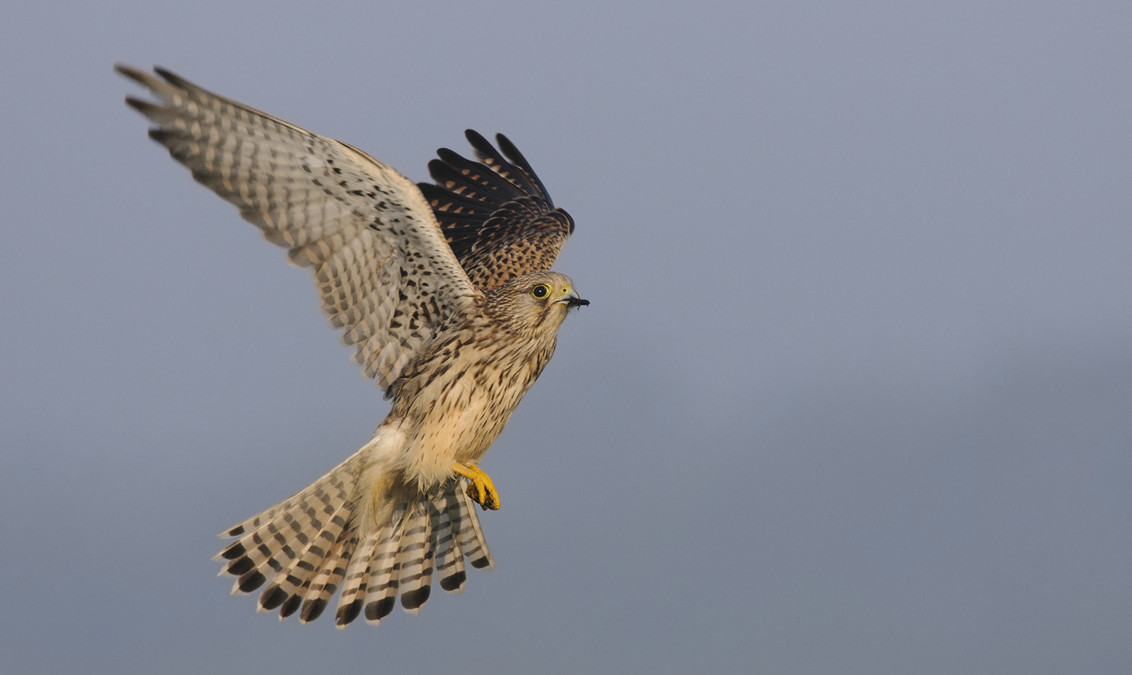 The kestrel (Falco tinnunculus)  is our most common diurnal bird of prey, and is often seen hovering over farmland and at the sides of motorways (5). With its long tail and narrow wings, it is easy to distinguish from most other species