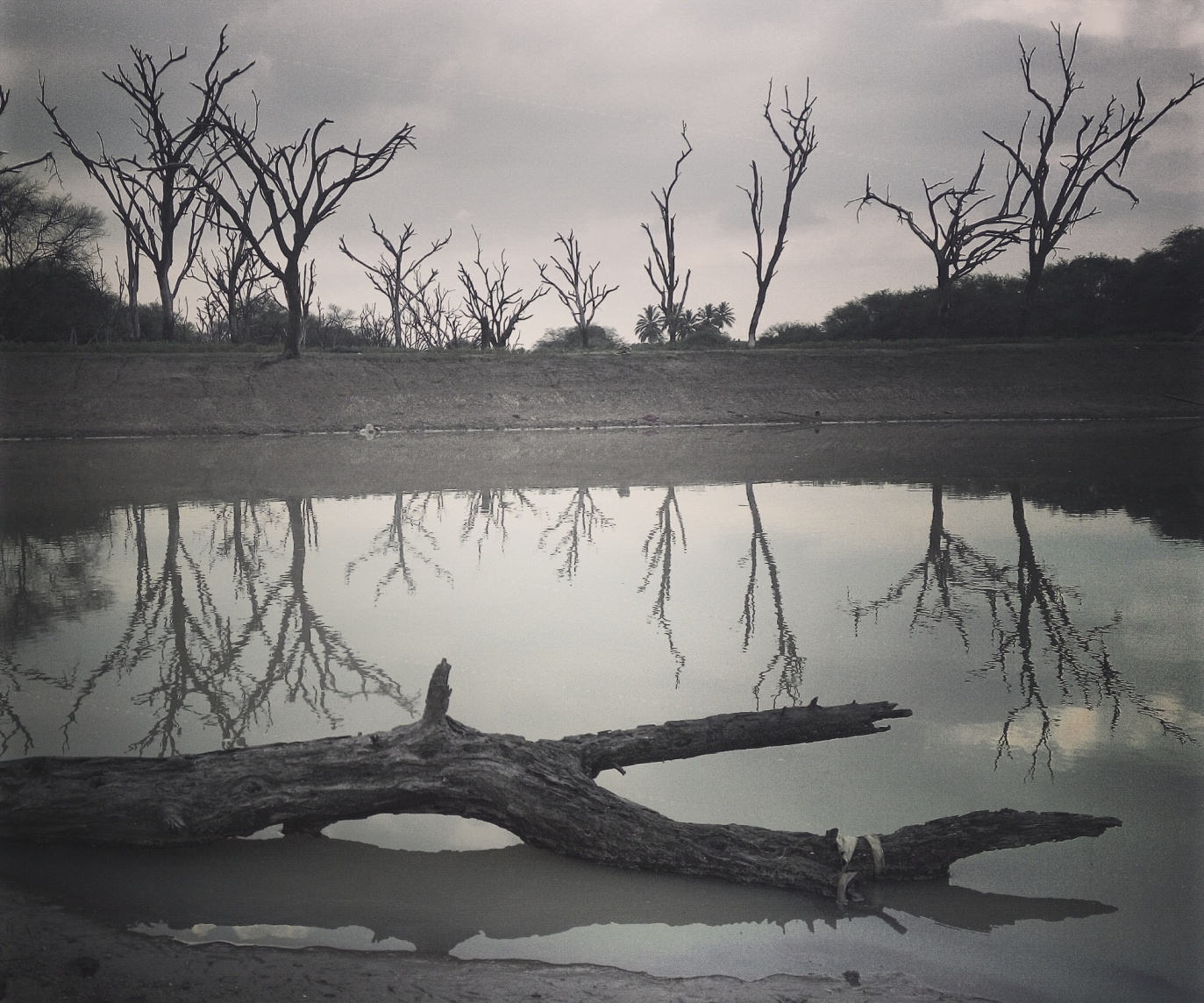 Dried trees in a city lake