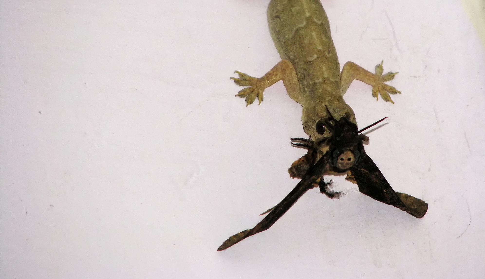 Lizard caught a moth