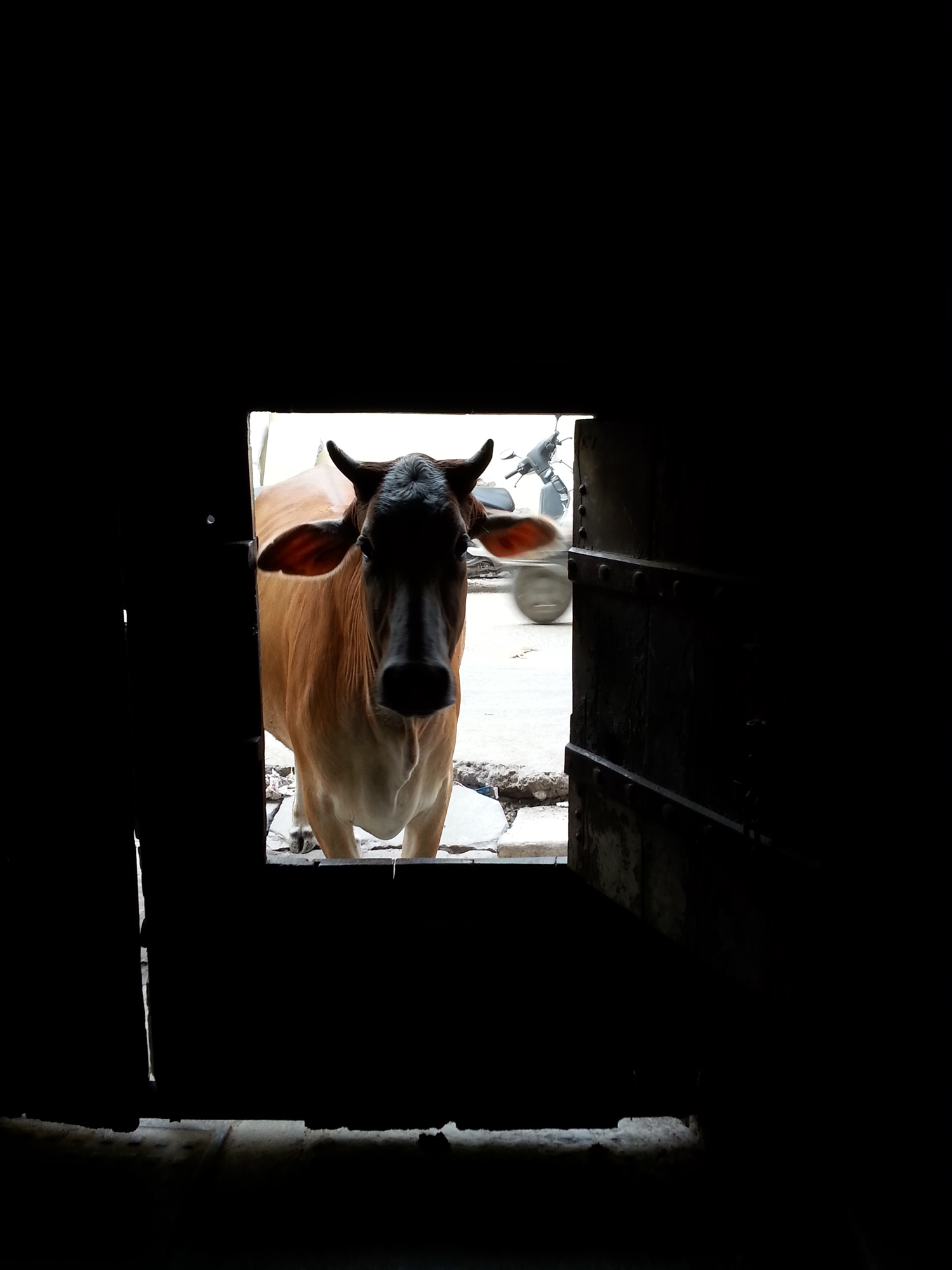 A cow was waiting for the gate to open so that she could enter the gate and sit in the shade.