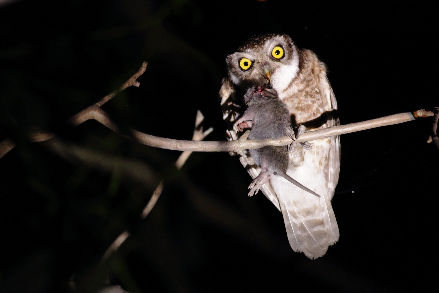 Spotted Owlet-This picture of    Spotted Owlet I have             taken shot in sundarban. This bird of prey sat on a branch of a tree with a marvellus attitude.
