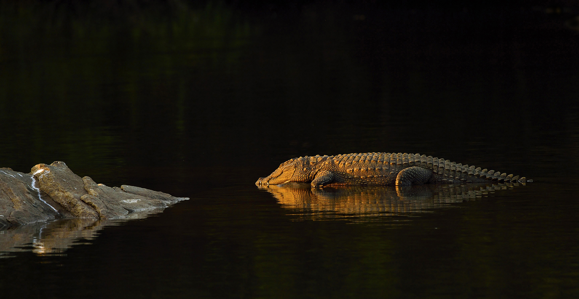 This image was shot at Rangathittu Bird Santuary, Karnataka on a late evening with the golden light falling on the Crocodile with its reflection in the water