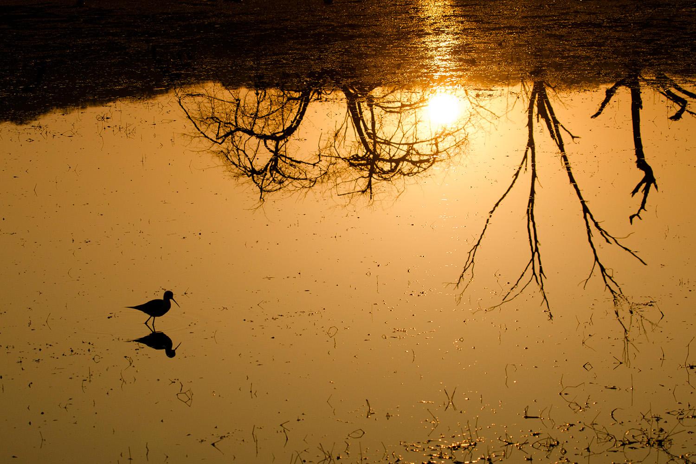 A black winged stilt foraging during sunrise
