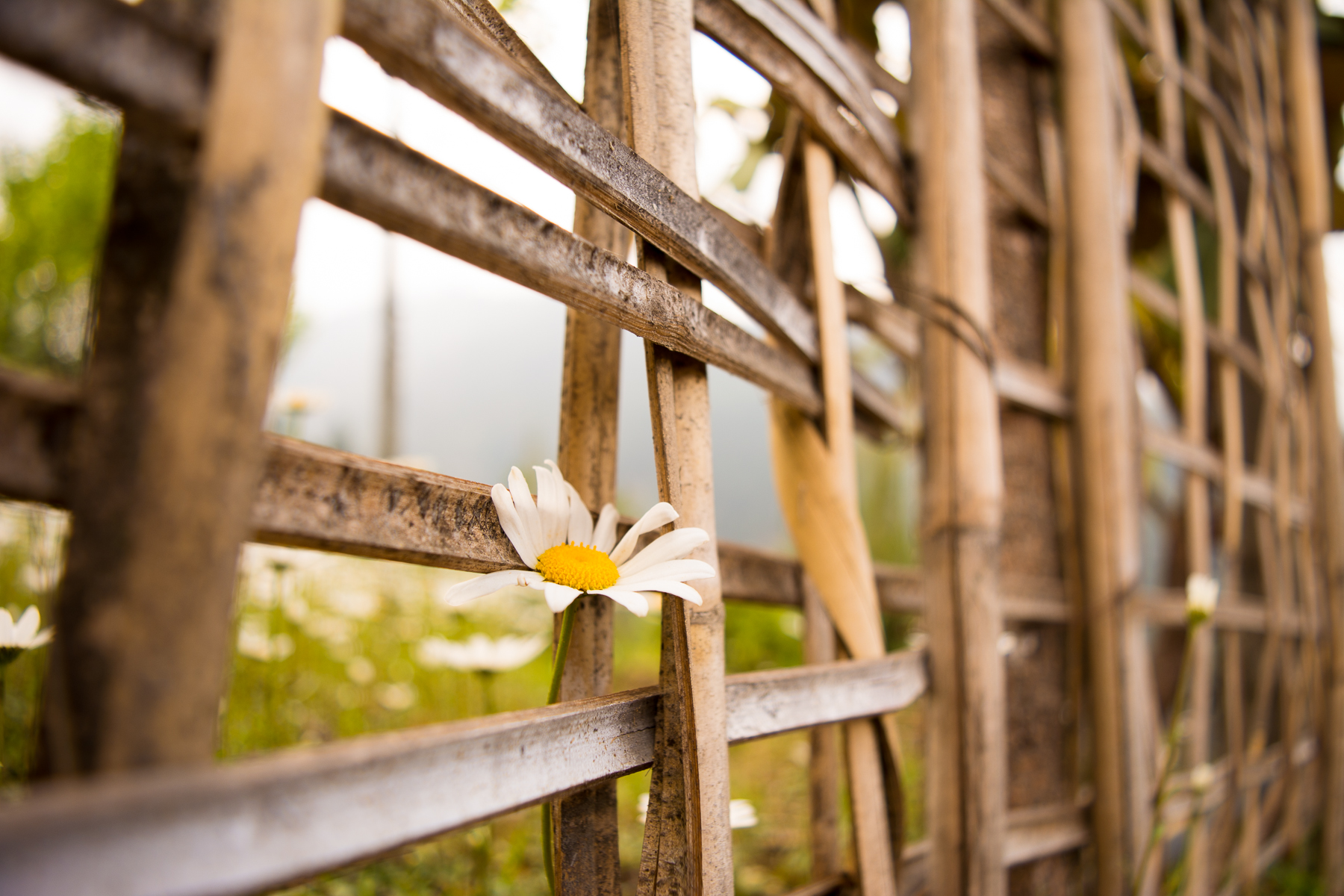 I was on a trek to Sandakphu, Darjeeling and I saw this little flower peeping out from the barricades. It reflects the graceful triumph of a living being.