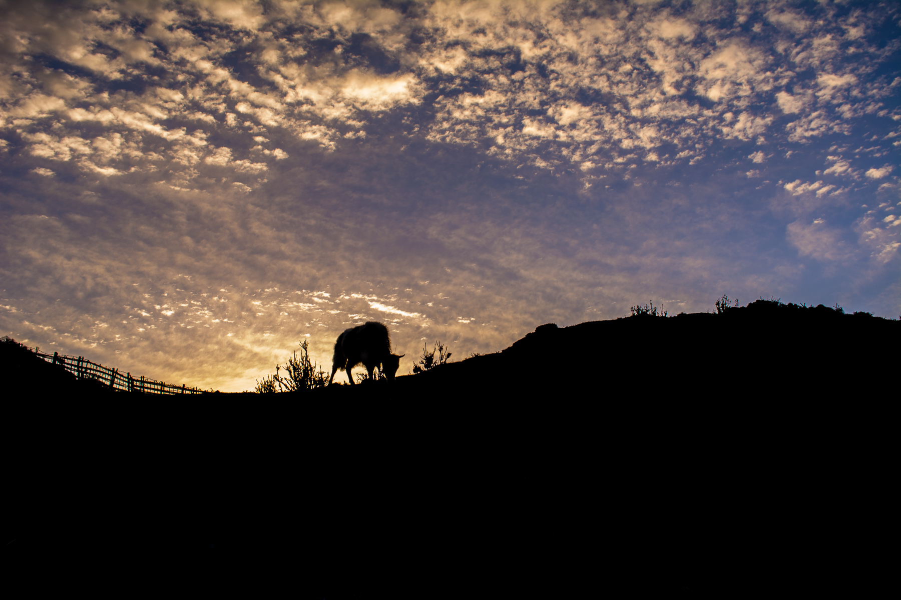 The sunrise in the hills has a distinct charm to it. The cattles grazing, the birds chirping, the winds, the golden & blue sky never fail to mesmerize. The photo was taken at Kalipokhri, Darjeeling.