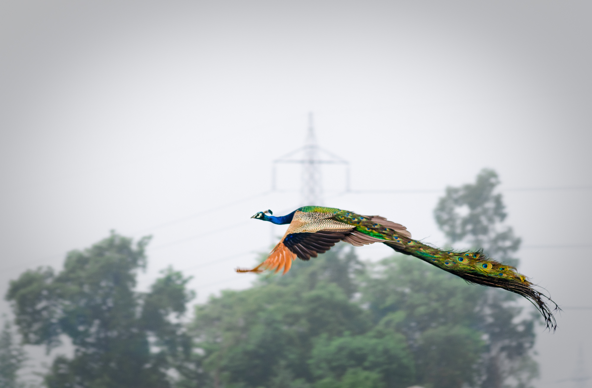 It was another oridanry overcast morning. I was out with a friend in the outskirts of Lucknow in search for photographic opportunities. But there wasn't much that one could find. On the way back at around 6:30AM, we spotted 3 peahens going into the fields, so we parked the car and jumped out with our might zooms attached and headed into the fields only to witnedd this peacock on a huge pile bricks with is tail spread open in an act of enticing the peahens. But it sensed our presense and ran around. We chased this peacock around for 45mins or so to try and get a worthy shot. We were standing deep in a field in the wet mud, almost knee deep when this guy took flight. I'd never witnessed a peacock fly in real life and it was an amazing sight indeed. Out of an 11 shot curst, this was the best. Not that its the best photo i've taken, but its an ode to a fantastic, overwhelming moment of seeing a peacock in flight for the first time