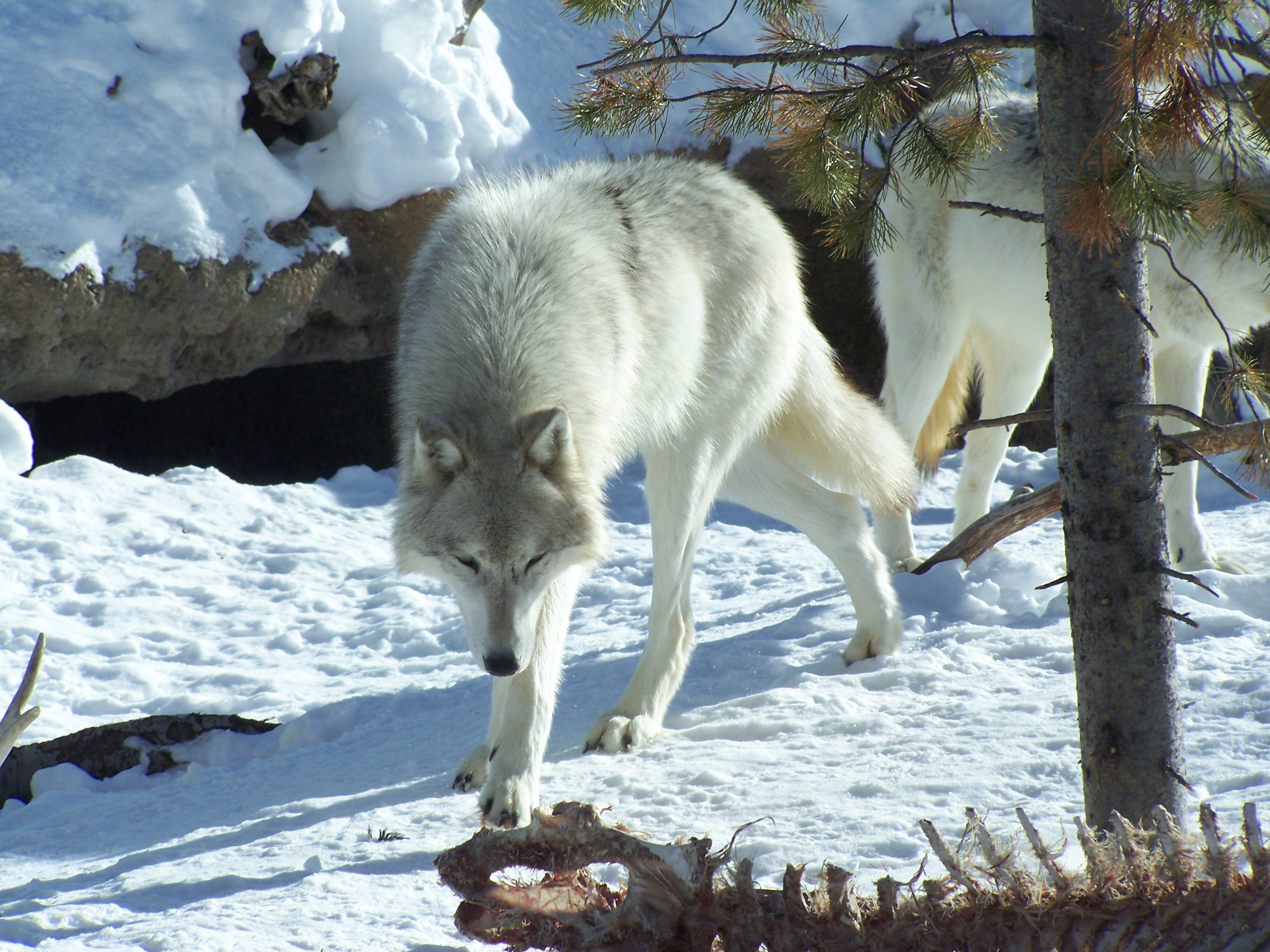 Wolf at Yellowstone Park protecting a carcass backbone.